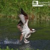 Al via la stagione riproduttiva del Falco pescatore