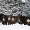 Cinghiali nella neve in Slovenjia