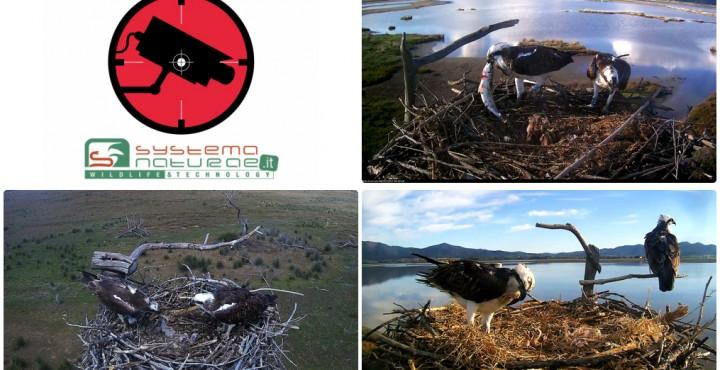 Falco pescatore 2017